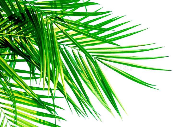Zielony liść odizolowywający na białym tle Kokosowy drzewko palmowe fotografia stock