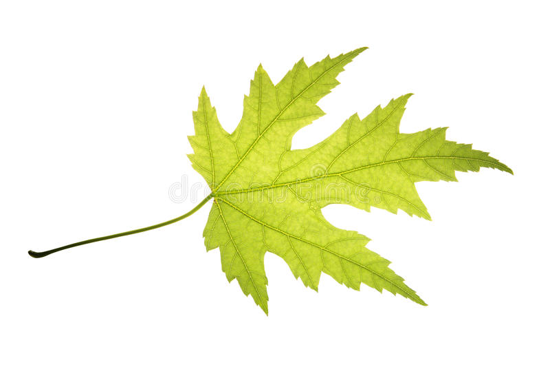 Zielony liść odizolowywający na białym tle srebny klon obrazy stock
