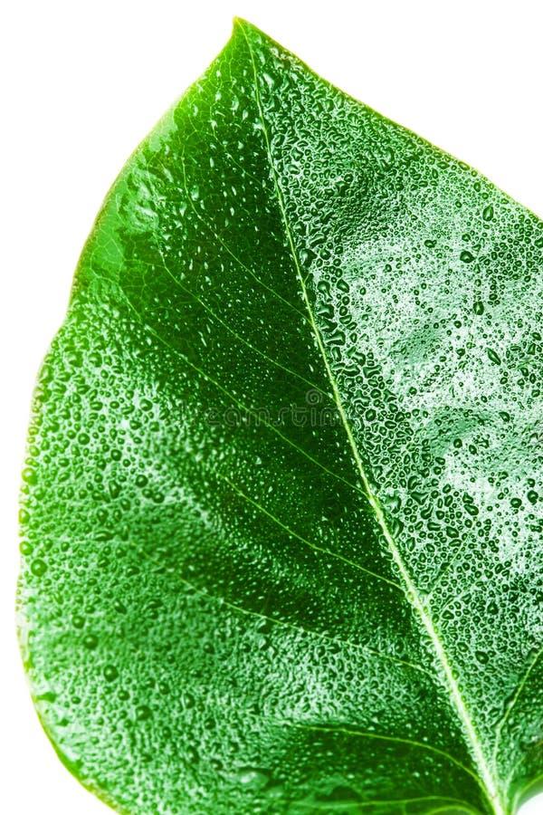 Zielony liść odizolowywający nad białym tłem Liść tekstura makro- obrazy stock