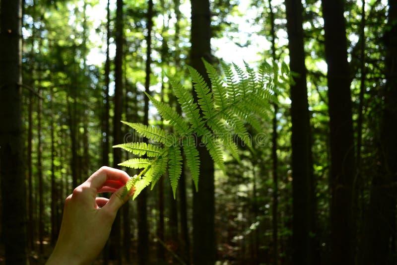 Zielony liść paprocie w drewnach W ręce obrazy stock