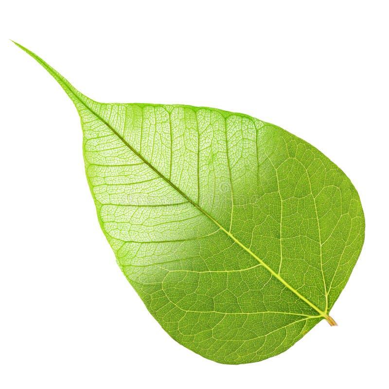 Zielony liść połówki kościec obrazy royalty free