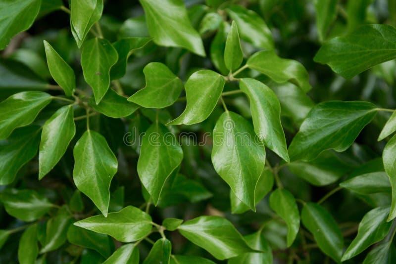 Zielony liść, ulistnienie tekstury tło zdjęcia royalty free