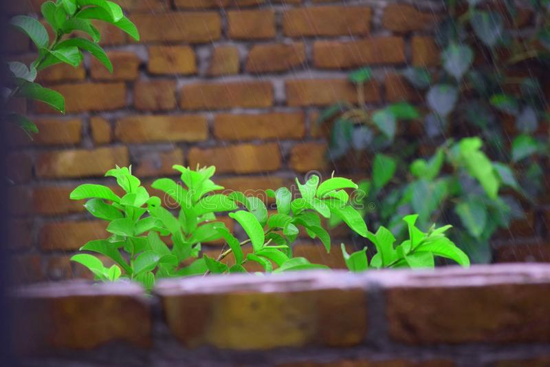 Zielony liść w deszczu z tłem obraz royalty free