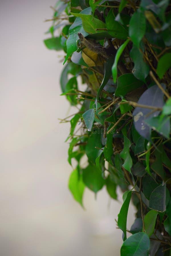 Zielony liść w deszczu z tłem zdjęcia royalty free