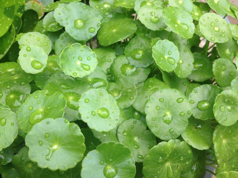 zielony liść z kropli wodą zdjęcia royalty free