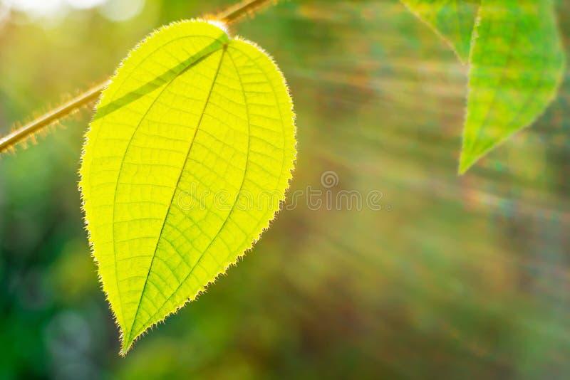 Zielony li?? z s?o?ce promieniem na bokeh naturze zamazuj?cej zdjęcia royalty free