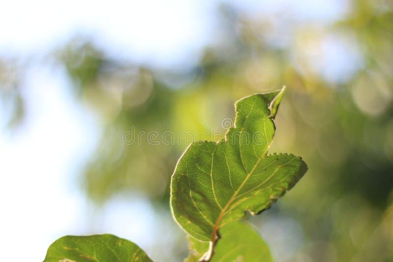 Zielony liść z suchą poradą obrazy royalty free