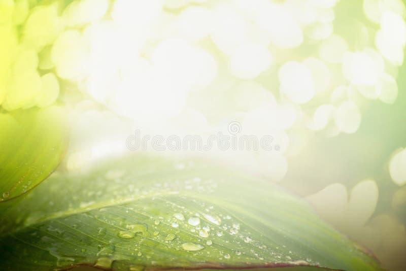 Zielony liść z wodą opuszcza nad lato natury tłem z światłem słonecznym i bokeh zdjęcie royalty free