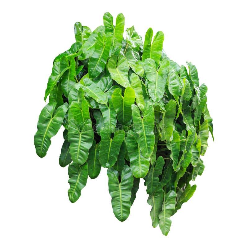 Zielony liść z wody kroplą w ogrodowej dekoraci Odizolowywający na whi zdjęcia royalty free