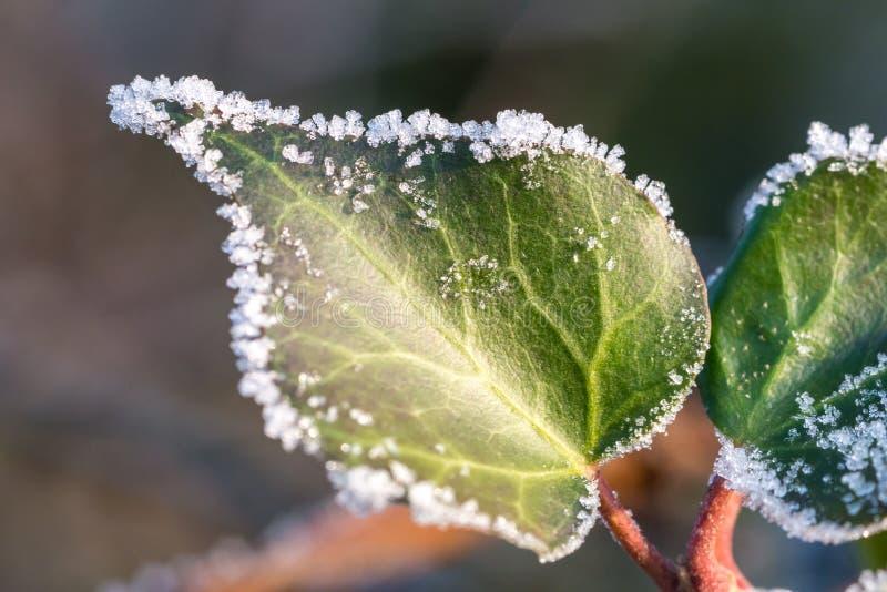 Zielony liść zakrywający lodowymi kryształami obraz royalty free