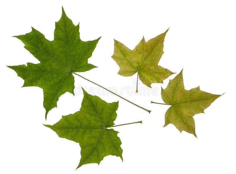 Zielony liścia klon zdjęcia stock