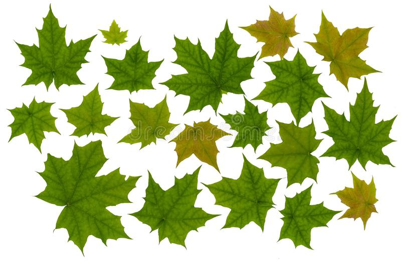 Zielony liścia klon obraz stock