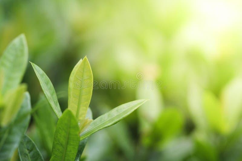 Zielony liścia tło dla natury i świeżości pojęcia fotografia royalty free