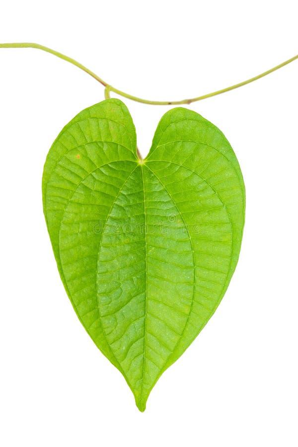 Download Zielony liścia ostrze obraz stock. Obraz złożonej z horticulture - 106900229