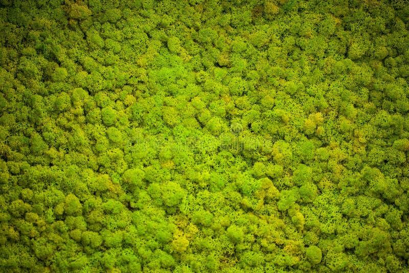 Zielony liszaj Mech ściana w moder piękna studiu zdjęcie stock
