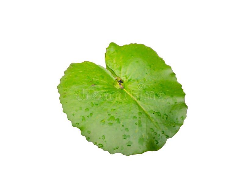 Zielony lotosowy liść na odosobnionym tle zdjęcia stock