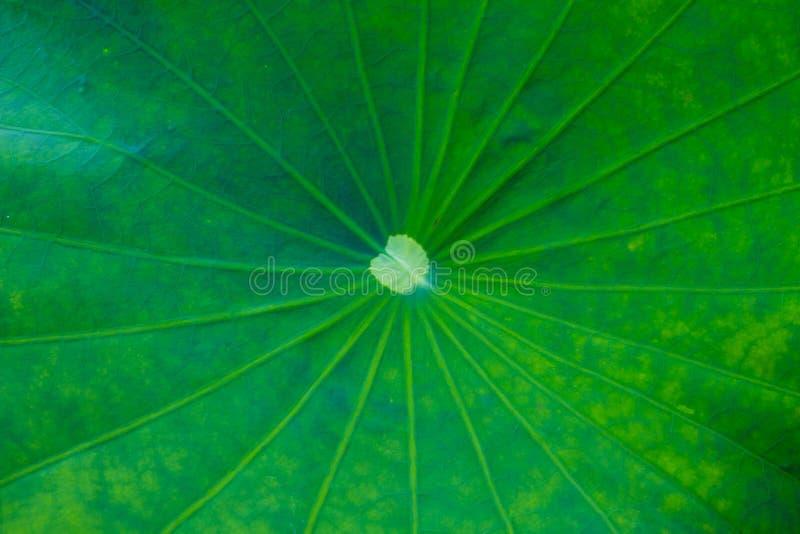 Zielony Lotosowy liścia tło obraz stock