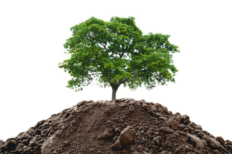 Zielony młodej rośliny dorośnięcie w ziemi odizolowywającej na białym tle fotografia royalty free