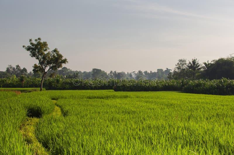 Zielony młody ryżu pole przy wschód słońca Ubud, Bali, Indonezja Piękni zieleni ryżowi pola, naturalny piękny tropikalny zdjęcie royalty free
