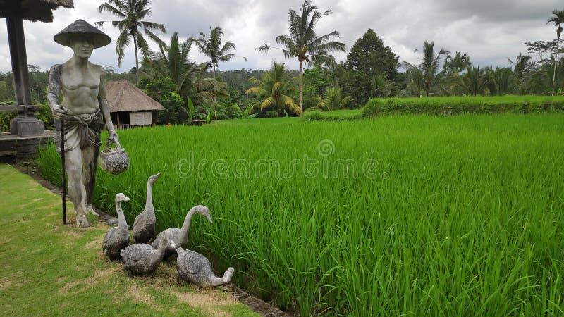 Zielony młody ryżu pole w Bali fotografia royalty free