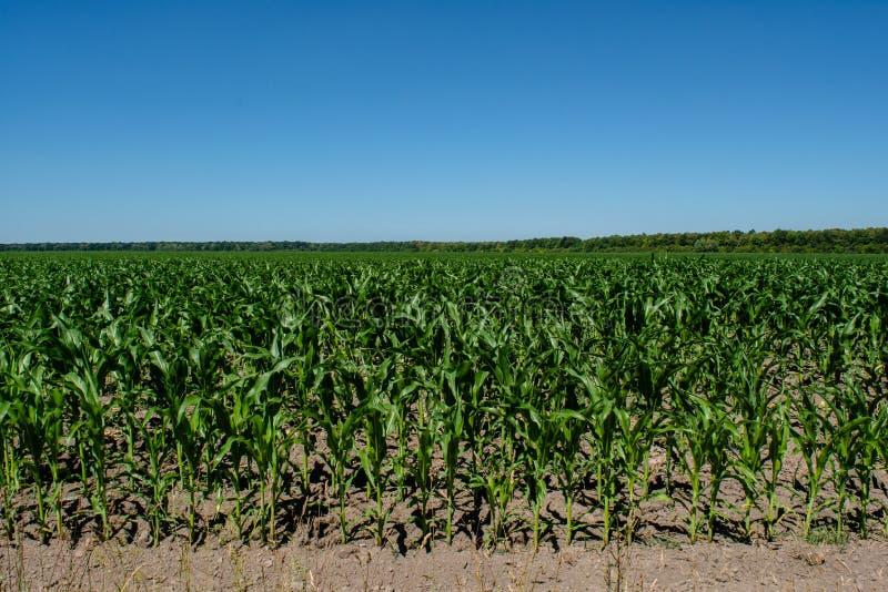 Zielony mały kukurydzany sadzonkowy dorośnięcie w polu zdjęcie stock