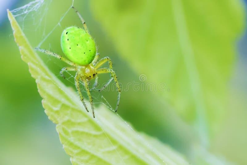 Zielony mały pająk zieleni tło zdjęcia stock