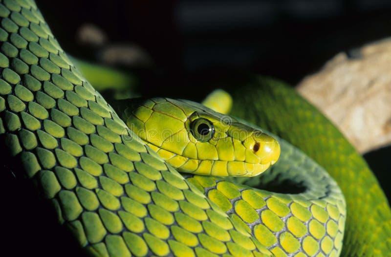 zielony mamba zdjęcia stock