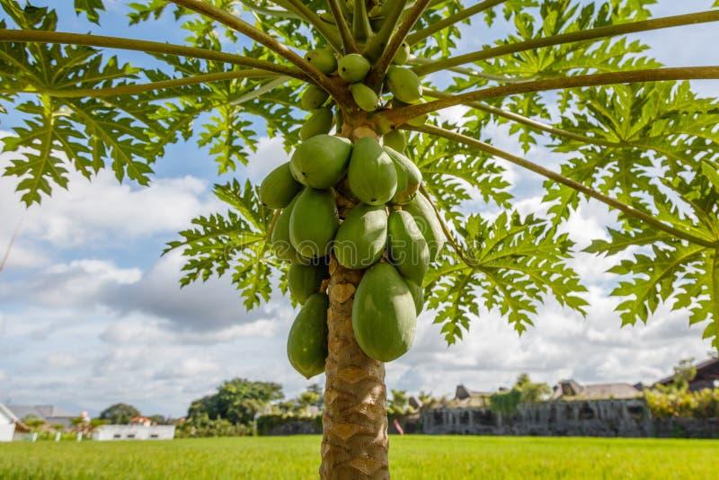 Zielony mangowy drzewo z owoc bali Indonesia obrazy stock