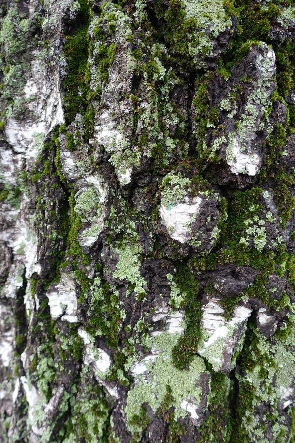 Zielony mech i liszaj na brzozy barkentynie zdjęcia royalty free