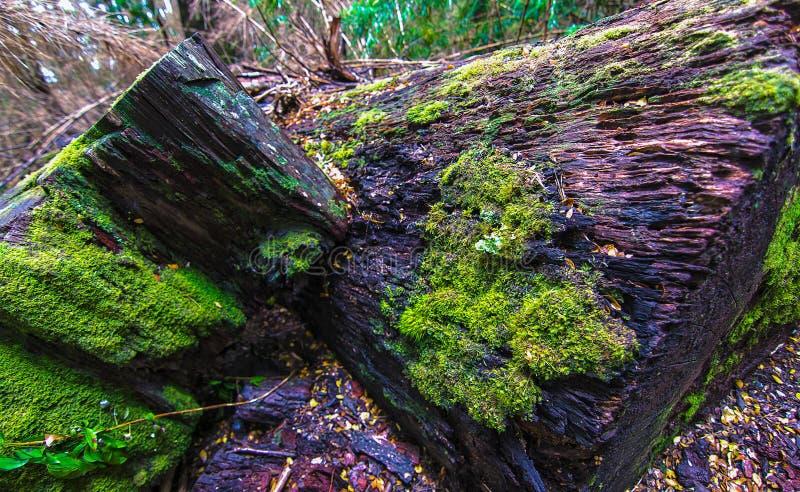 Zielony mech na spadać drzewie obraz royalty free