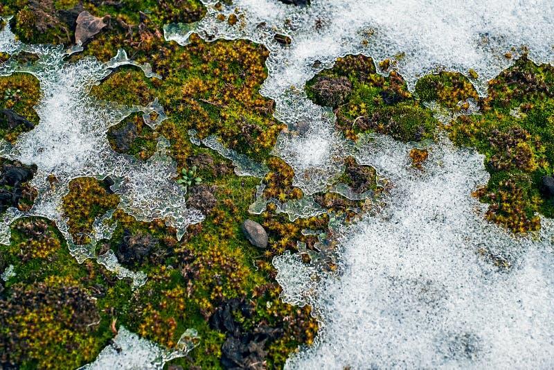 Zielony mech pod śniegiem zdjęcie royalty free
