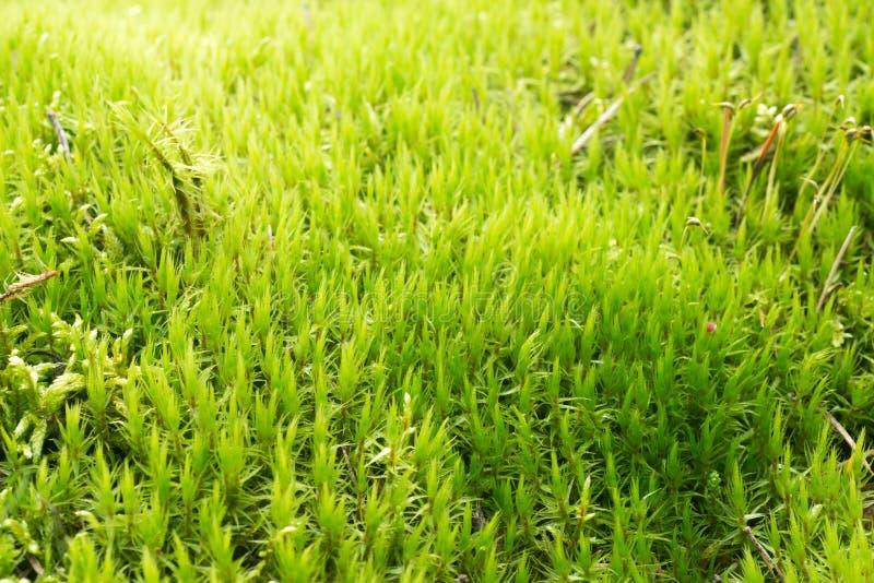 Zielony mech w lasowym tle fotografia royalty free