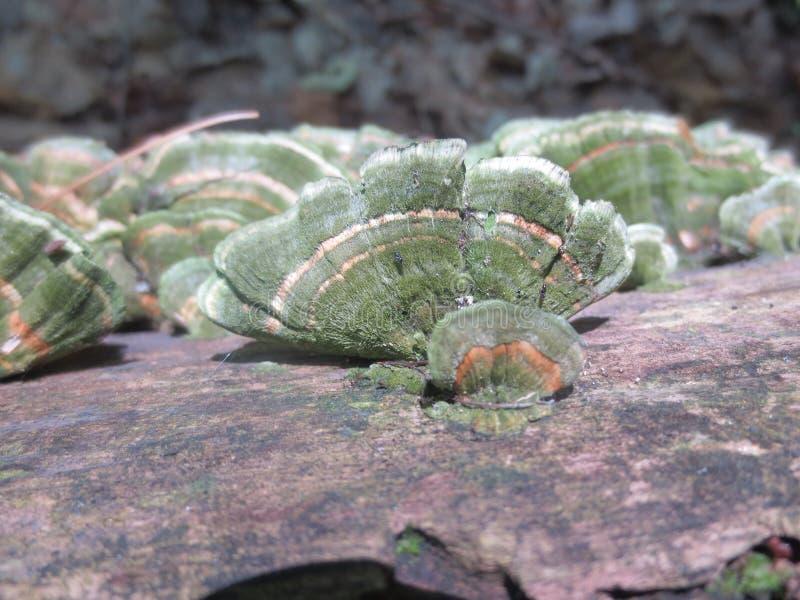 Zielony mech Zakrywał pomarańcze Obdzierającego Kinkietowego grzyba fotografia stock