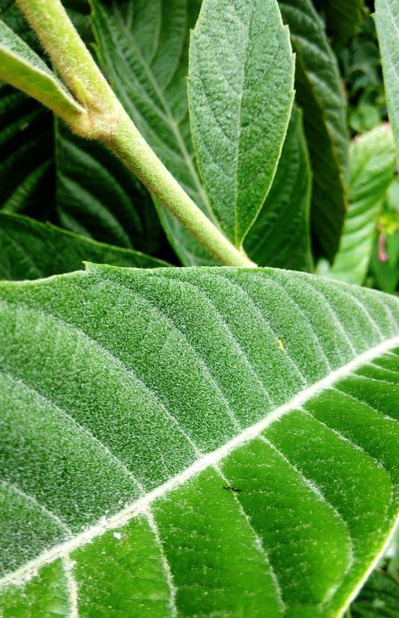 Zielony miękki liścia zbliżenie zdjęcie royalty free