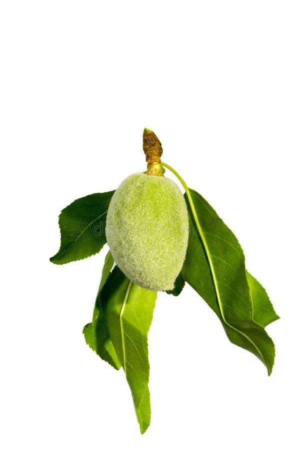 Zielony migdał na drzewie obrazy stock