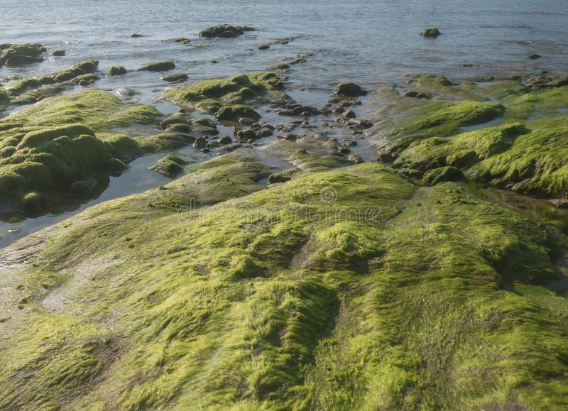 zielony moss obrazy stock