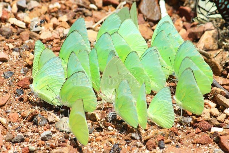 Zielony motyl zdjęcie royalty free