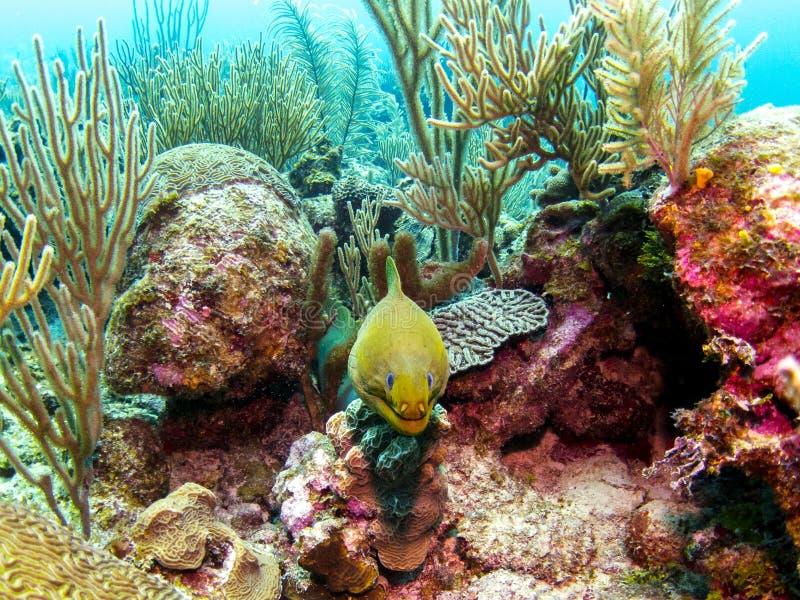 Zielony murena węgorz w Belize rafie koralowej fotografia royalty free