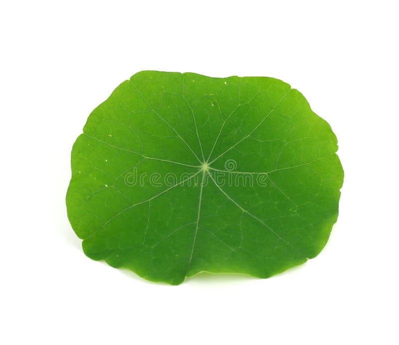 Zielony nasturcja liść odizolowywający na białym tle fotografia royalty free