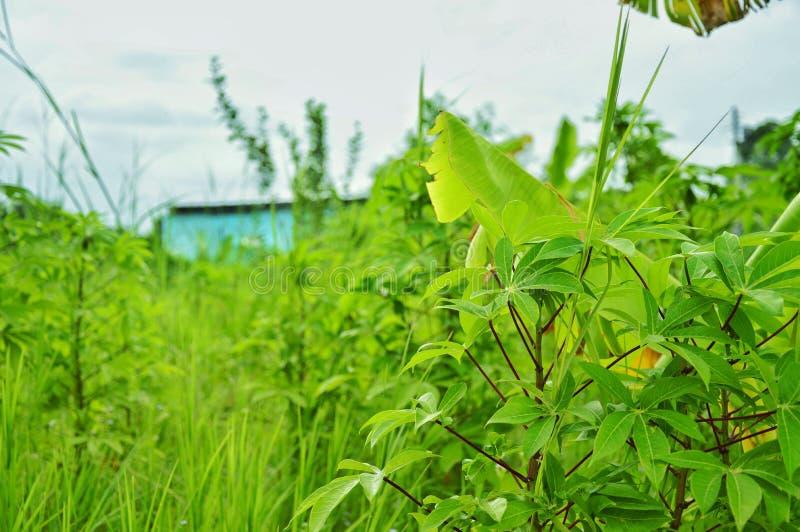 Zielony natury drzewo dla życia zdjęcia royalty free
