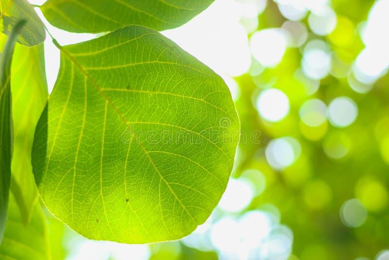 Zielony natury rośliny liścia zbliżenie z plamy bokeh tłem fotografia royalty free