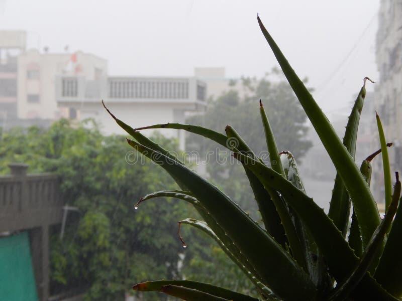 Zielony obfitolistny Alovera w monsunie fotografia stock