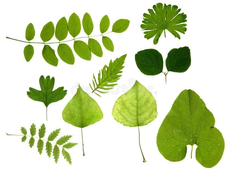 zielony odizolowane liście obrazy royalty free