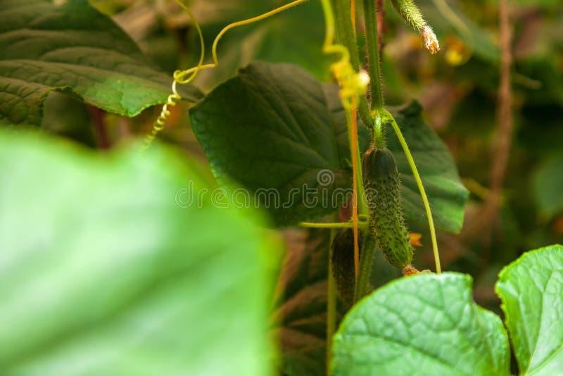 Zielony ogórkowy obwieszenie na ogródzie w szklarni podczas uprawa przyrosta zdjęcie stock