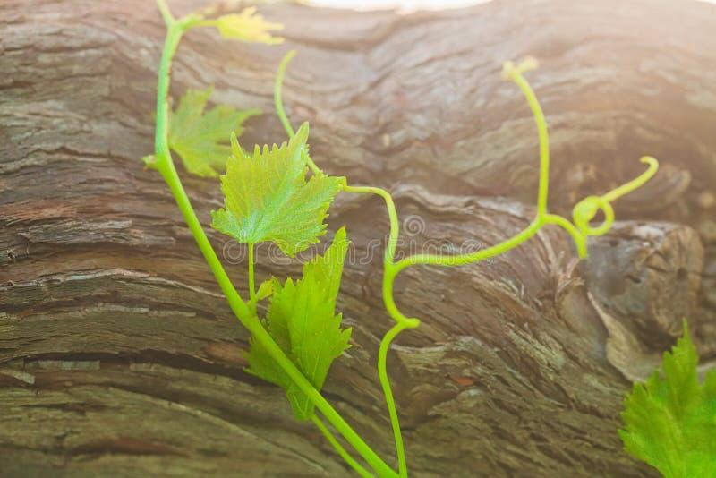 Zielony organicznie winograd przeciw staremu drzewnej barkentyny tłu zdjęcie royalty free