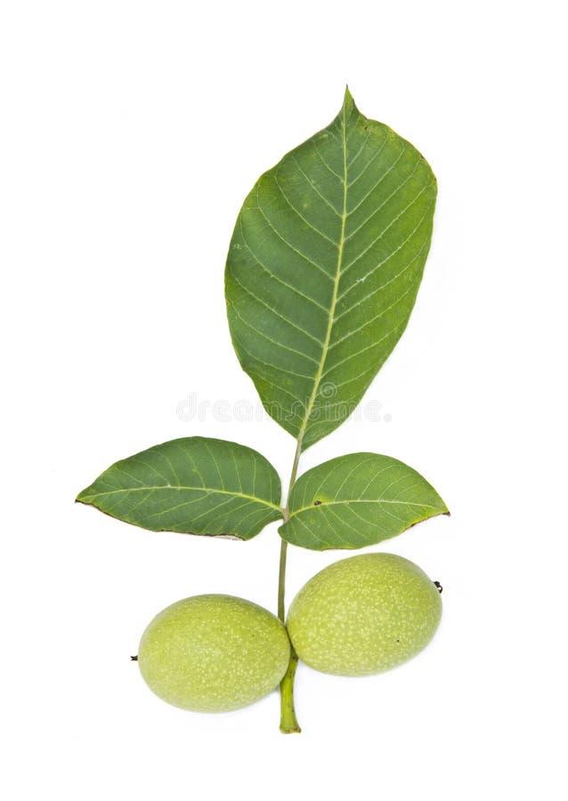 Zielony orzech włoski z liściem zdjęcie stock