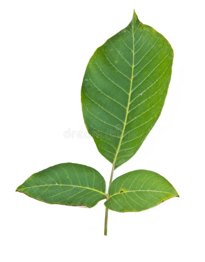 Zielony orzecha włoskiego liść obraz royalty free