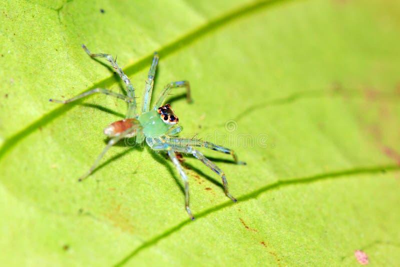Zielony półprzezroczysty skokowy pająk obrazy stock