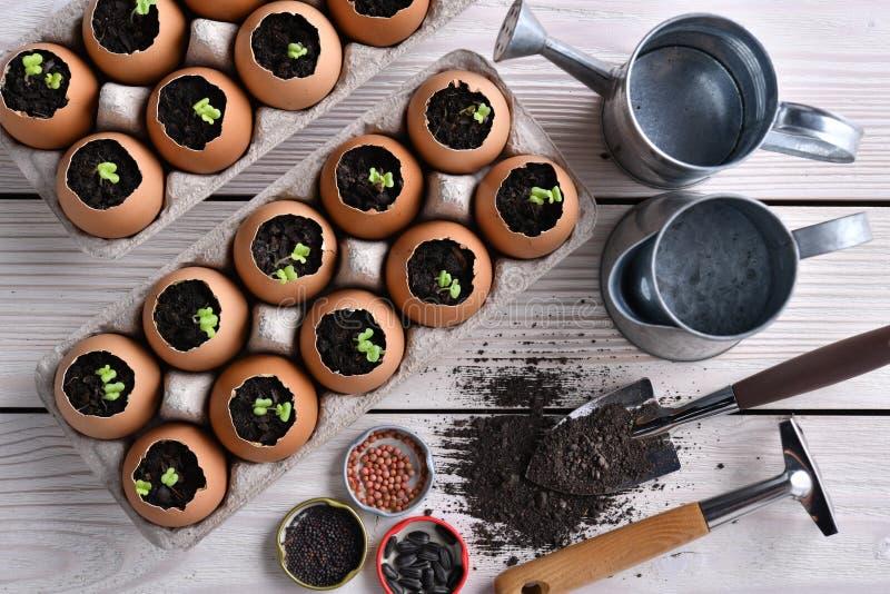 Zielony pędzel rosnący z ziemi w skorupach jaj na stole w ogrodzie fotografia stock