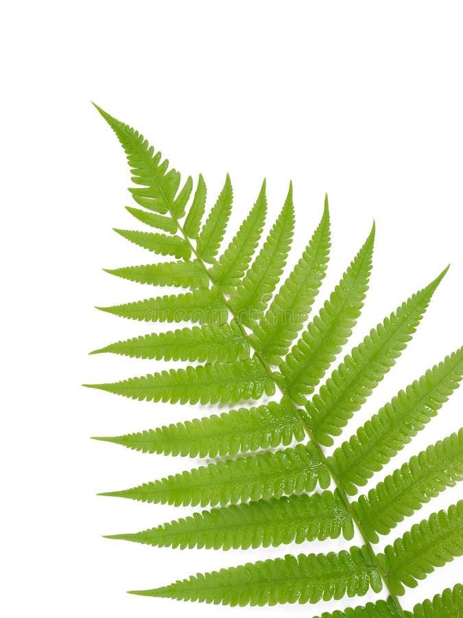 zielony paproć liść obraz royalty free